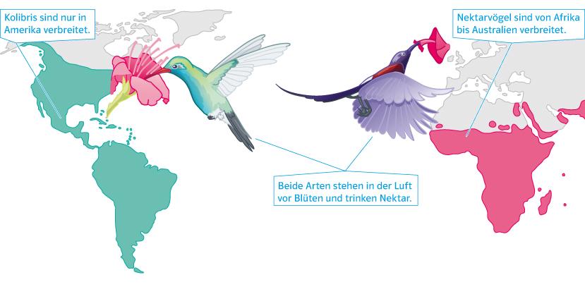Originalgrafik zu Kolibri und Nektarvogel