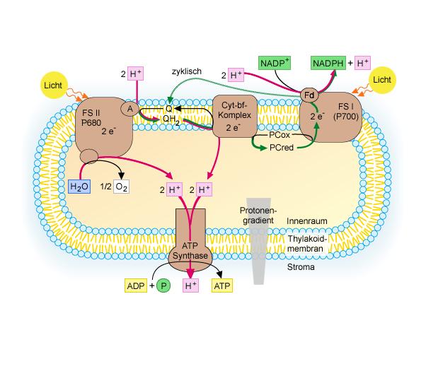 Lichtabhängige Reaktion Fotosynthese